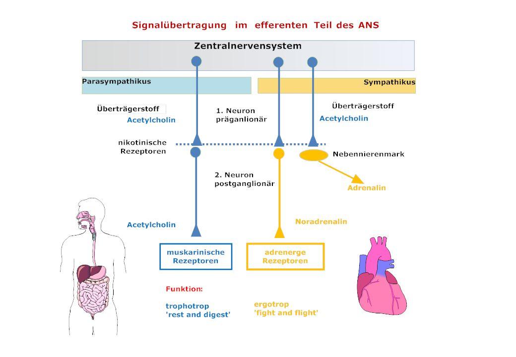 Autonome Rezeptoren: Signaltransduktion und Lokalisation RezeptortypMolekularer PrimäreffektTypische Lokalisation Adrenerg 1 Stimulation Phospholipase C, Bildung von IP3 und DAG, Anstieg [Ca 2+ ] i postsynaptisch Adrenerg 2 Hemmung Adenylatzyklase, Aktivierung von K+-Kanälen präsynaptisch Adrenerg 1 Aktivierung Adenylatzyklase, Anstieg cAMP Postsynaptisch (Stim: NA) Adrenerg 2 Aktivierung Adenylatzyklase, Anstieg cAMP Gewebe ohne sympath.
