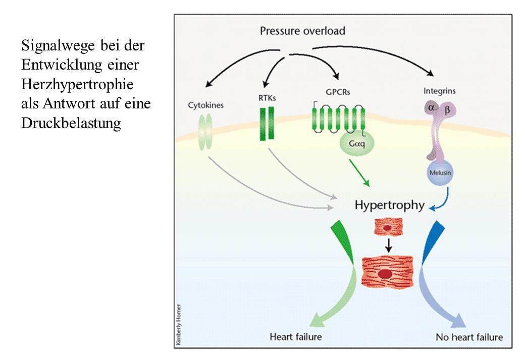 Myokardialer Calciumzyklus