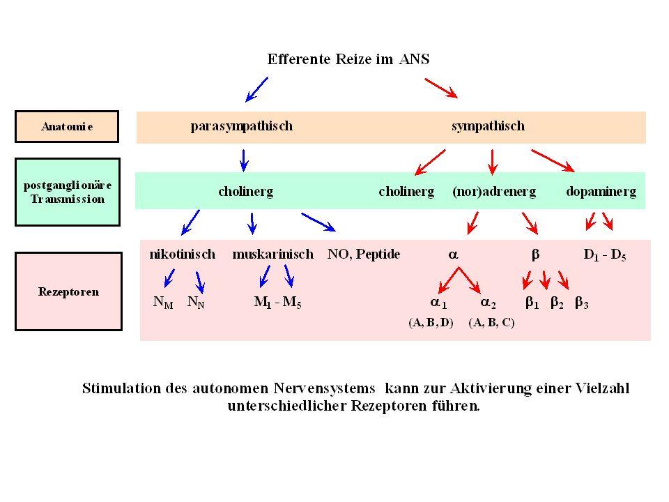 Autonome Rezeptoren: Signaltransduktion und Lokalisation RezeptortypMolekularer Primäreffekt Typische Lokalisation Adrenerg 1 Stimulation Phospholipase C, Bildung von IP3 und DAG, Anstieg [Ca 2+ ] i postsynaptisch Adrenerg 2 Hemmung Adenylatzyklase, Aktivierung von K+-Kanälen präsynaptisch Adrenerg 1 Aktivierung Adenylatzyklase, Anstieg cAMP Postsynaptisch (Stim: NA) Adrenerg 2 Aktivierung Adenylatzyklase, Anstieg cAMP Gewebe ohne sympath.