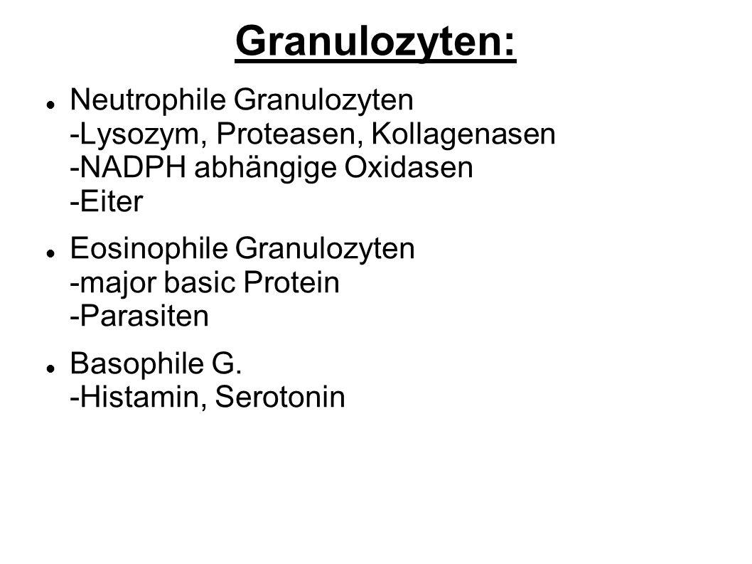 Granulozyten: Neutrophile Granulozyten -Lysozym, Proteasen, Kollagenasen -NADPH abhängige Oxidasen -Eiter Eosinophile Granulozyten -major basic Protein -Parasiten Basophile G.
