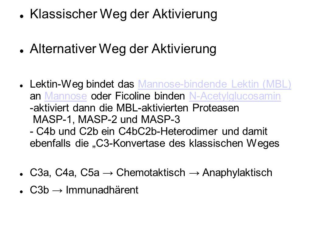 Klassischer Weg der Aktivierung Alternativer Weg der Aktivierung Lektin-Weg bindet das Mannose-bindende Lektin (MBL) an Mannose oder Ficoline binden N-Acetylglucosamin -aktiviert dann die MBL-aktivierten Proteasen MASP-1, MASP-2 und MASP-3 - C4b und C2b ein C4bC2b-Heterodimer und damit ebenfalls die C3-Konvertase des klassischen WegesMannose-bindende Lektin (MBL)MannoseN-Acetylglucosamin C3a, C4a, C5a Chemotaktisch Anaphylaktisch C3b Immunadhärent