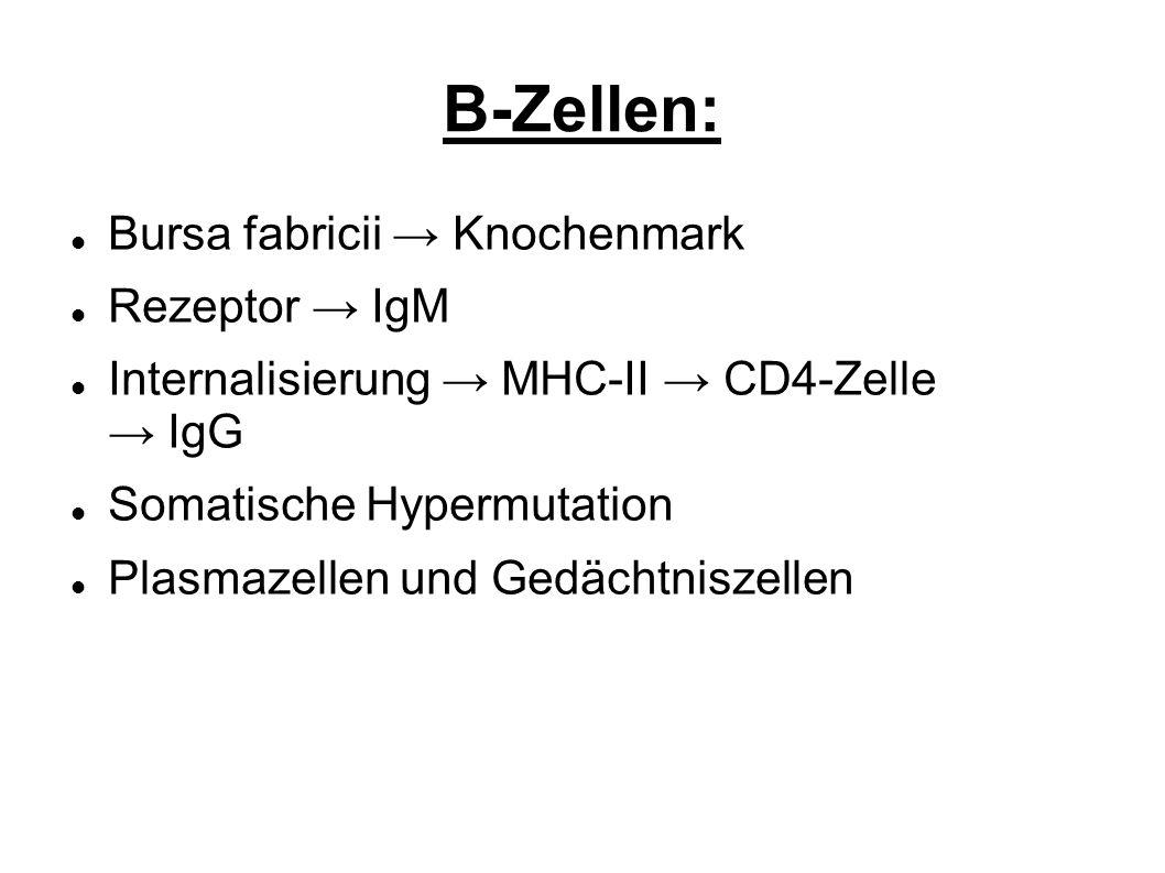 B-Zellen: Bursa fabricii Knochenmark Rezeptor IgM Internalisierung MHC-II CD4-Zelle IgG Somatische Hypermutation Plasmazellen und Gedächtniszellen