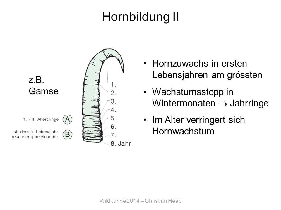 Wildkunde 2014 – Christian Heeb Hornbildung II Hornzuwachs in ersten Lebensjahren am grössten z.B.