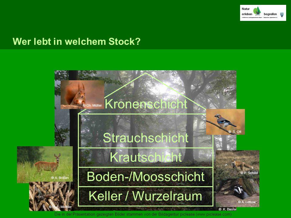 Wer lebt in welchem Stock? Keller / Wurzelraum Boden-/Moosschicht Krautschicht Strauchschicht Kronenschicht © H.-F. Michler © S. Ott © A. Brillen © A.