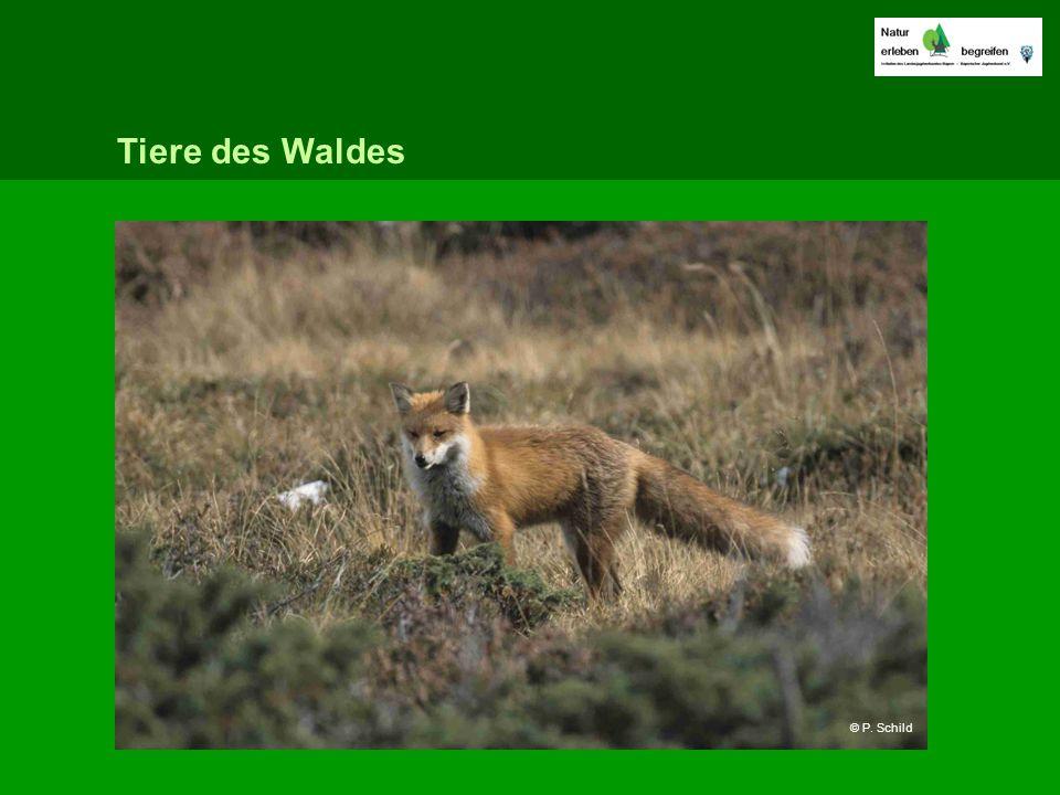 Tiere des Waldes © P. Schild