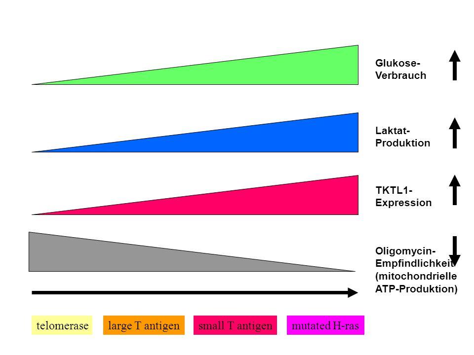Krebs Subklasse A Mitochondrien sind aktiv Glukose wird verbrannt TKTL1-negativ Subklasse B Mitochondrien sind inaktiv Glukose wird vergoren TKTL1-pos