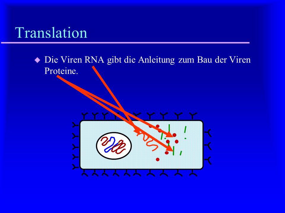 Transkription u Die Viren-DNA wird in RNA umgeschrieben.