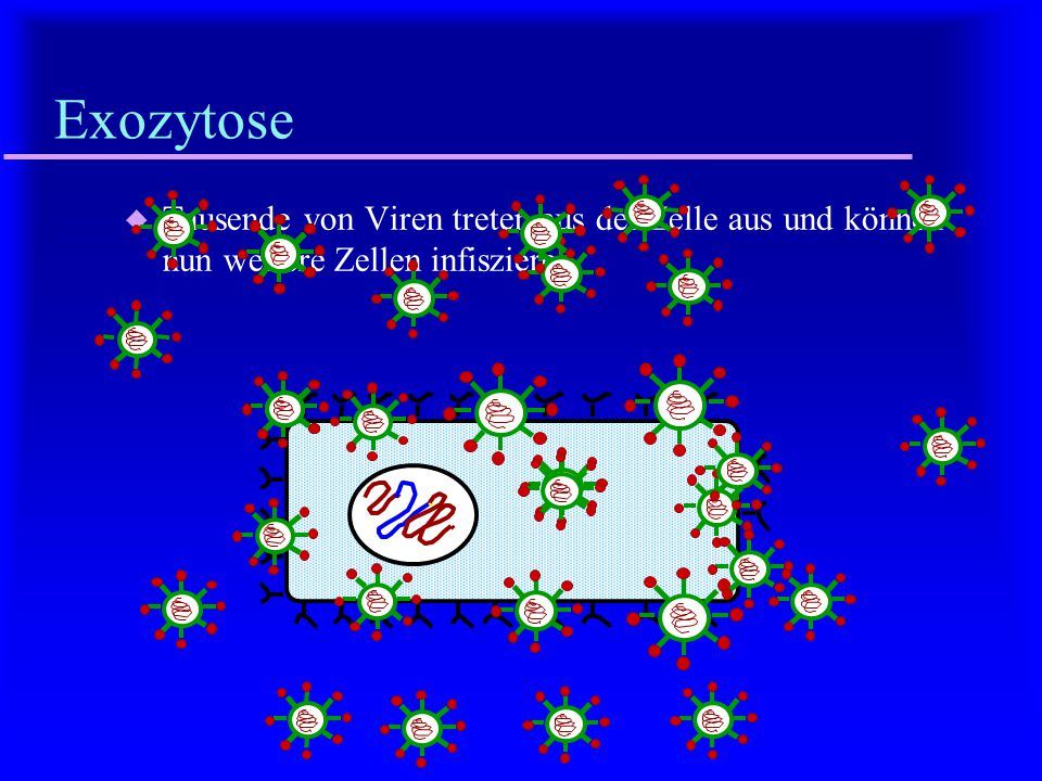 Zusammenbau u Die Proteine und die RNA werden zum Virus zusammengefügt.