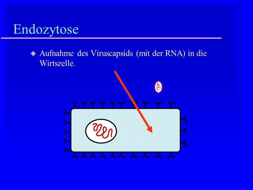 Fusion u Fusion der Virushülle mit der Zellmembran