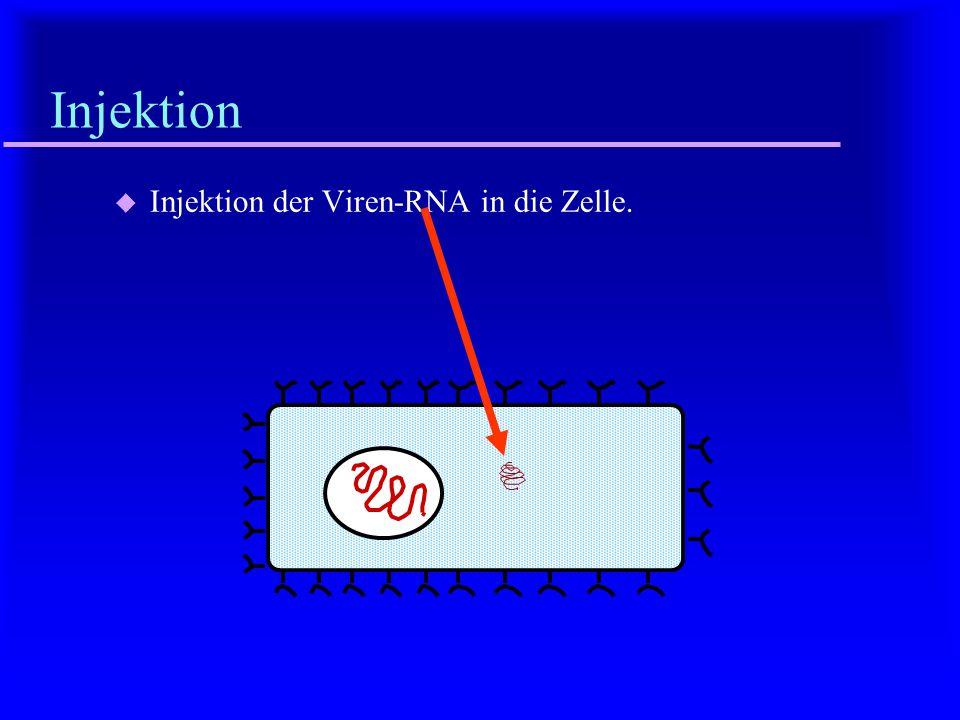 Endozytose u Aufnahme des Viruscapsids (mit der RNA) in die Wirtszelle.