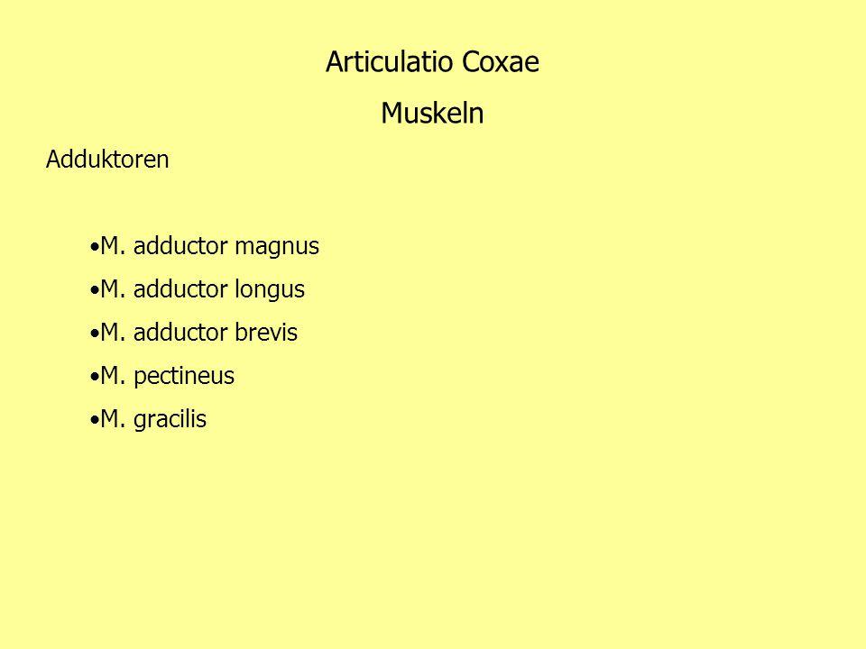 Articulatio Coxae Muskeln Adduktoren M. adductor magnus M. adductor longus M. adductor brevis M. pectineus M. gracilis