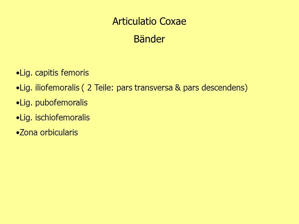 Articulatio Coxae Bänder Lig. capitis femoris Lig. iliofemoralis ( 2 Teile: pars transversa & pars descendens) Lig. pubofemoralis Lig. ischiofemoralis
