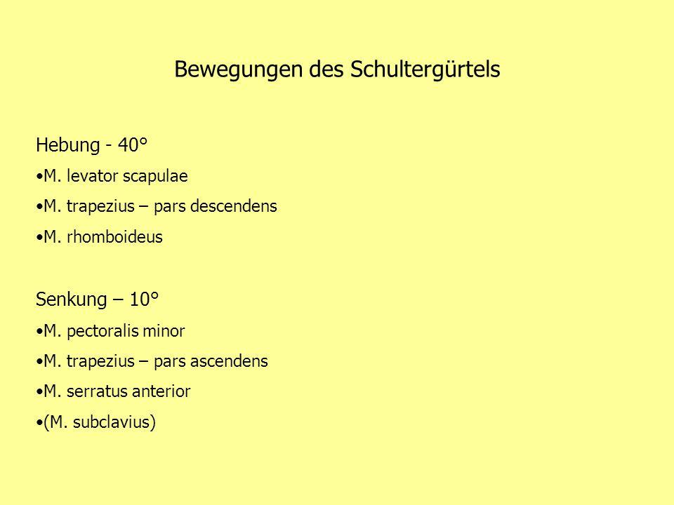 Bewegungen des Schultergürtels Hebung - 40° M. levator scapulae M. trapezius – pars descendens M. rhomboideus Senkung – 10° M. pectoralis minor M. tra