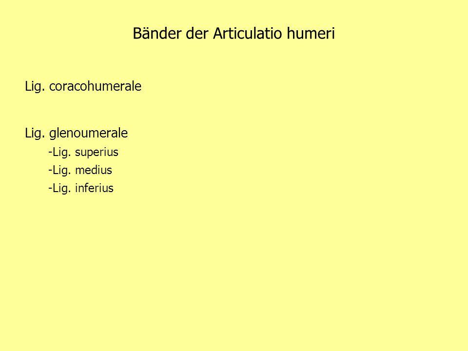 Bänder der Articulatio humeri Lig. coracohumerale Lig. glenoumerale -Lig. superius -Lig. medius -Lig. inferius