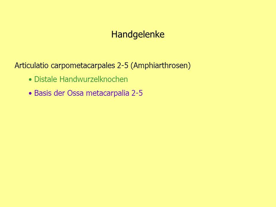 Handgelenke Articulatio carpometacarpales 2-5 (Amphiarthrosen) Distale Handwurzelknochen Basis der Ossa metacarpalia 2-5
