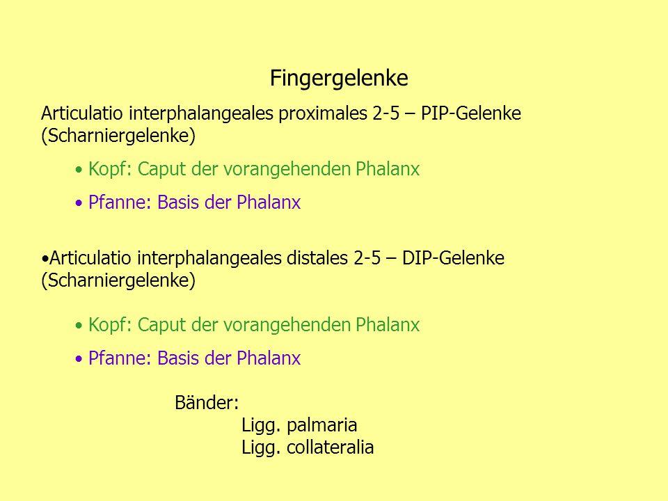 Fingergelenke Articulatio interphalangeales proximales 2-5 – PIP-Gelenke (Scharniergelenke) Kopf: Caput der vorangehenden Phalanx Pfanne: Basis der Ph