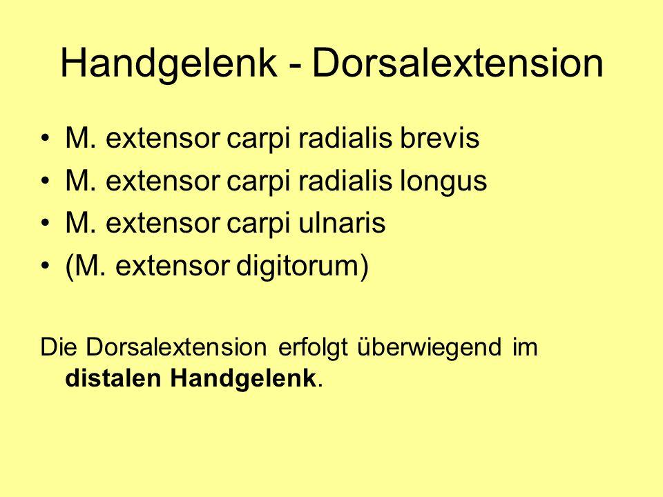 Handgelenk - Dorsalextension M. extensor carpi radialis brevis M. extensor carpi radialis longus M. extensor carpi ulnaris (M. extensor digitorum) Die
