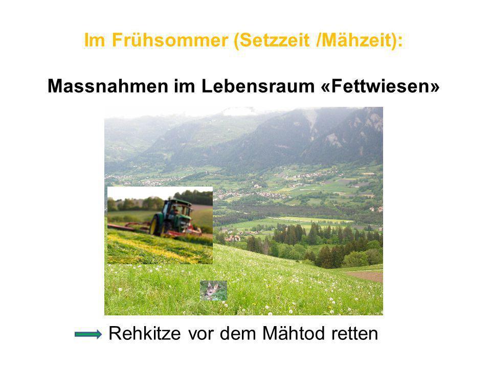 Im Frühsommer (Setzzeit /Mähzeit): Massnahmen im Lebensraum «Fettwiesen» Rehkitze vor dem Mähtod retten