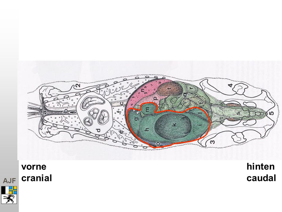 AJF vorne cranial hinten caudal