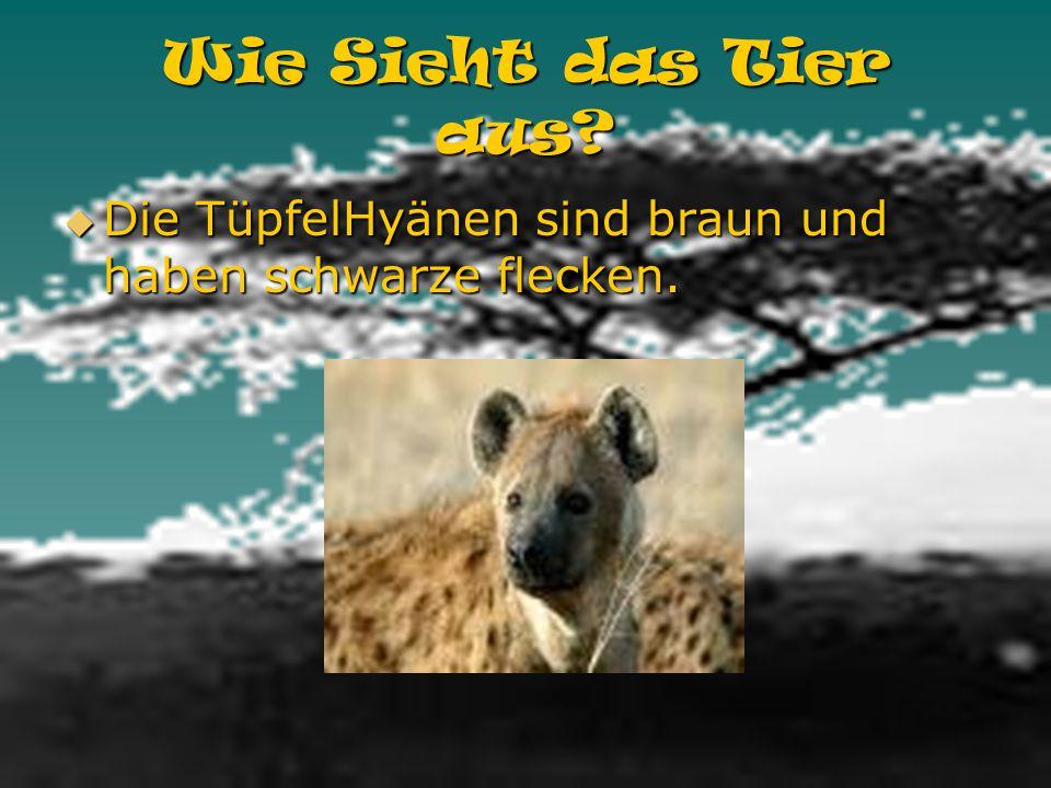 Woher kommt das Tier? Die TüpfelHyänen kommt aus Afrika südlich der Sahara. Die TüpfelHyänen kommt aus Afrika südlich der Sahara.