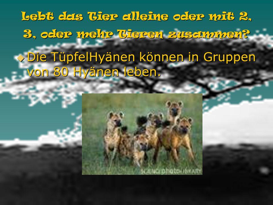 Wie alt wird das Tier? Die TüpfelHyänen können einzundvierzig Jahre alt werden. Die TüpfelHyänen können einzundvierzig Jahre alt werden.