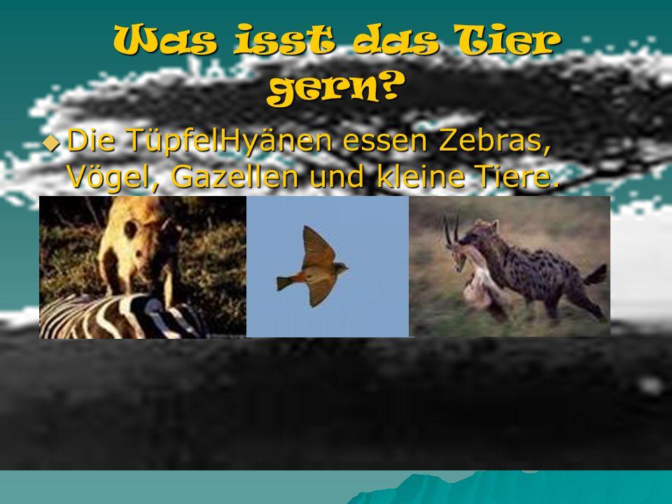 Lebt das Tier alleine oder mit 2, 3, oder mehr Tieren zusammen? Die TüpfelHyänen können in Gruppen von 80 Hyänen leben. Die TüpfelHyänen können in Gru