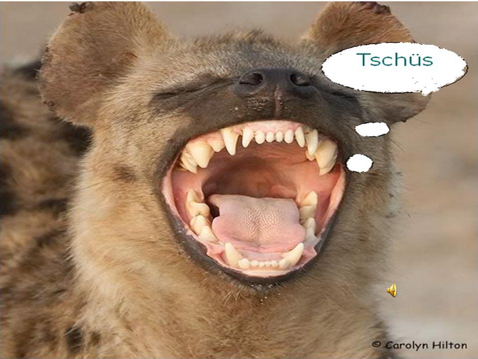 Beschreibe andere wichtige Information! Die TüpfelHyänen können von Löwen und leoparden getötet werden. Die TüpfelHyänen können von Löwen und leoparde