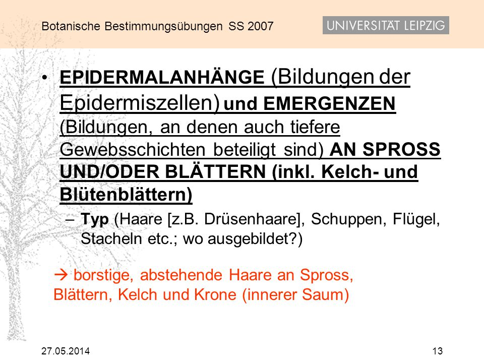 Botanische Bestimmungsübungen SS 2007 27.05.201413 EPIDERMALANHÄNGE (Bildungen der Epidermiszellen) und EMERGENZEN (Bildungen, an denen auch tiefere G