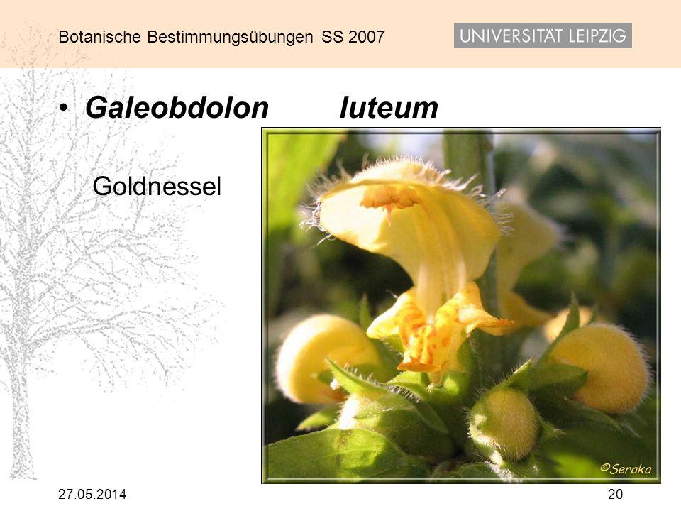 Botanische Bestimmungsübungen SS 2007 27.05.201420 Galeobdolon luteum Goldnessel