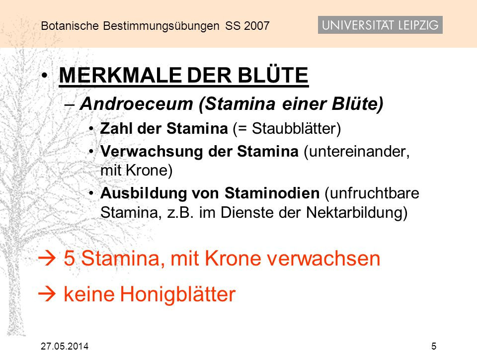 Botanische Bestimmungsübungen SS 2007 27.05.20145 MERKMALE DER BLÜTE – Androeceum (Stamina einer Blüte) Zahl der Stamina (= Staubblätter) Verwachsung