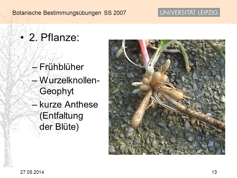 Botanische Bestimmungsübungen SS 2007 27.05.201413 2. Pflanze: –Frühblüher –Wurzelknollen- Geophyt –kurze Anthese (Entfaltung der Blüte)