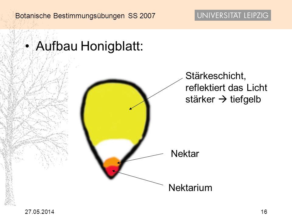 Botanische Bestimmungsübungen SS 2007 27.05.201416 Aufbau Honigblatt: Stärkeschicht, reflektiert das Licht stärker tiefgelb Nektarium Nektar