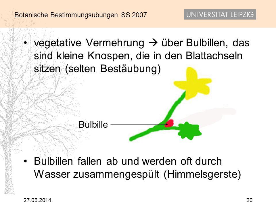 Botanische Bestimmungsübungen SS 2007 27.05.201420 vegetative Vermehrung über Bulbillen, das sind kleine Knospen, die in den Blattachseln sitzen (selt