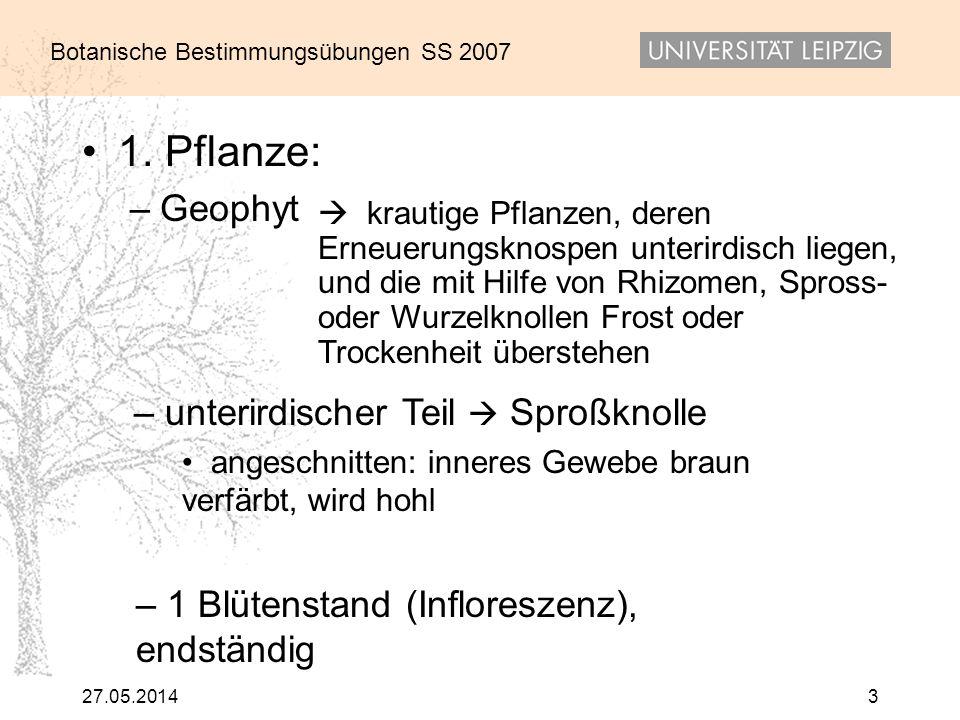 Botanische Bestimmungsübungen SS 2007 27.05.20143 1. Pflanze: –Geophyt krautige Pflanzen, deren Erneuerungsknospen unterirdisch liegen, und die mit Hi