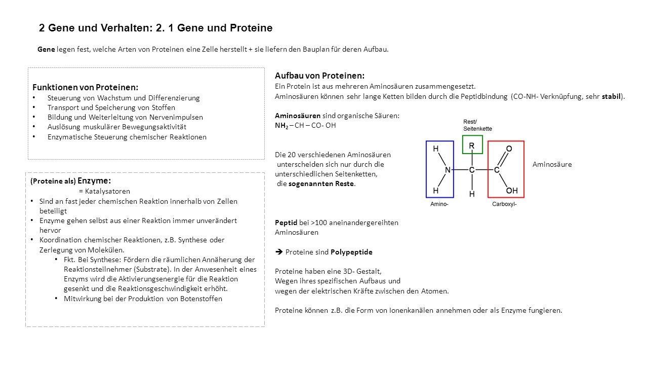2 Gene und Verhalten: 2. 1 Gene und Proteine Gene legen fest, welche Arten von Proteinen eine Zelle herstellt + sie liefern den Bauplan für deren Aufb