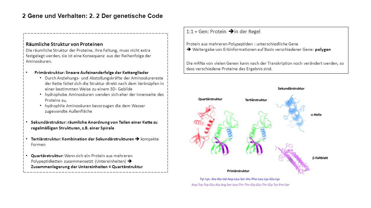 2 Gene und Verhalten: 2. 2 Der genetische Code Räumliche Struktur von Proteinen Die räumliche Struktur der Proteine, ihre Faltung, muss nicht extra fe