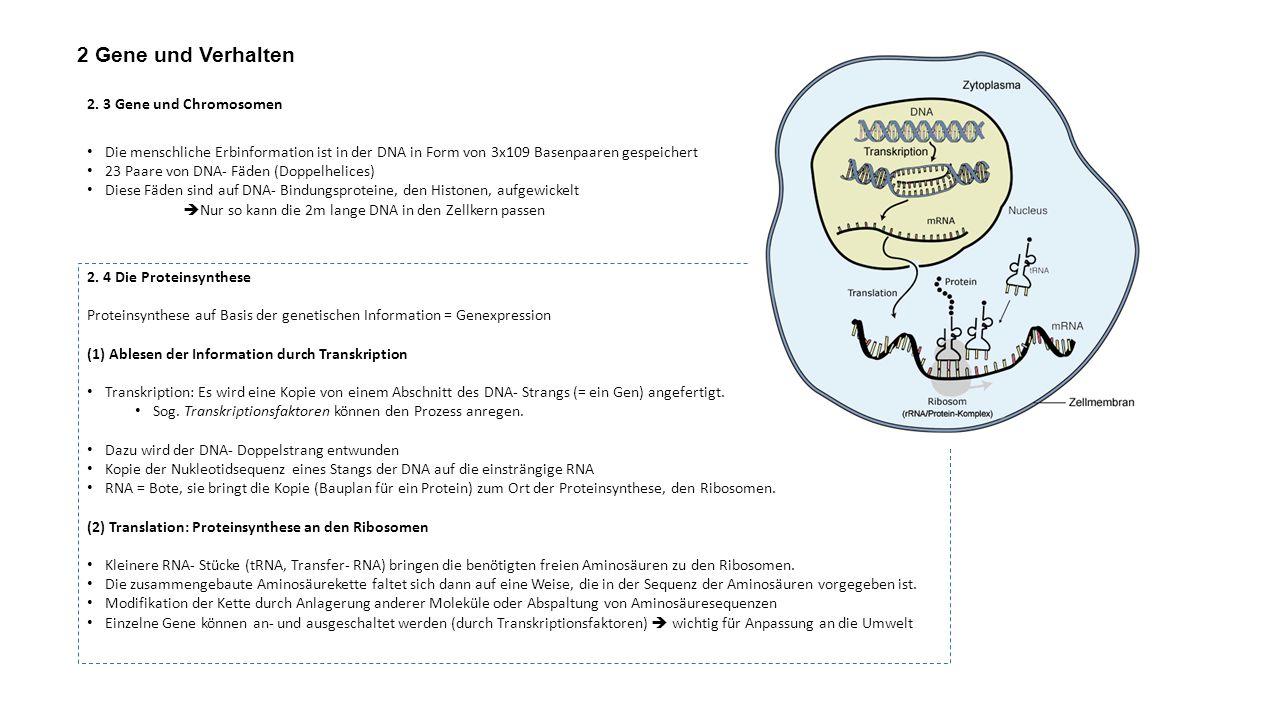 2 Gene und Verhalten 2. 3 Gene und Chromosomen Die menschliche Erbinformation ist in der DNA in Form von 3x109 Basenpaaren gespeichert 23 Paare von DN