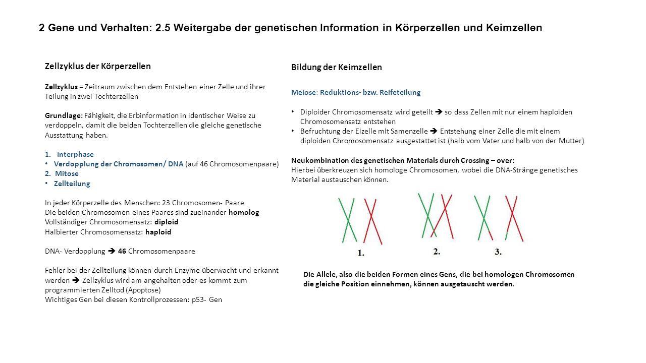 Bildung der Keimzellen Meiose: Reduktions- bzw. Reifeteilung Diploider Chromosomensatz wird geteilt so dass Zellen mit nur einem haploiden Chromosomen