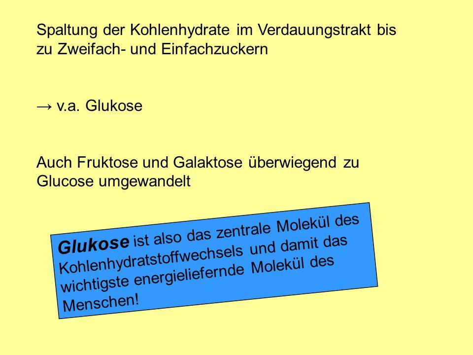Spaltung der Kohlenhydrate im Verdauungstrakt bis zu Zweifach- und Einfachzuckern v.a. Glukose Auch Fruktose und Galaktose überwiegend zu Glucose umge