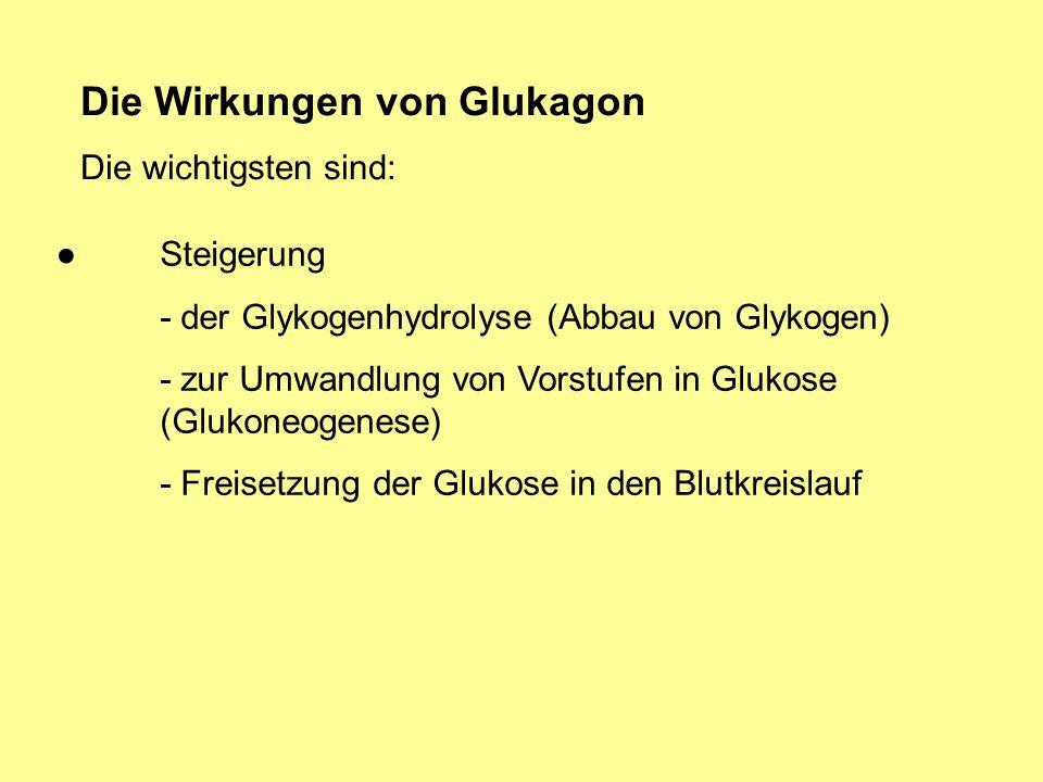 Die Wirkungen von Glukagon Die wichtigsten sind: Steigerung - der Glykogenhydrolyse (Abbau von Glykogen) - zur Umwandlung von Vorstufen in Glukose (Gl