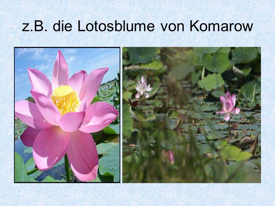 z.B. die Lotosblume von Komarow