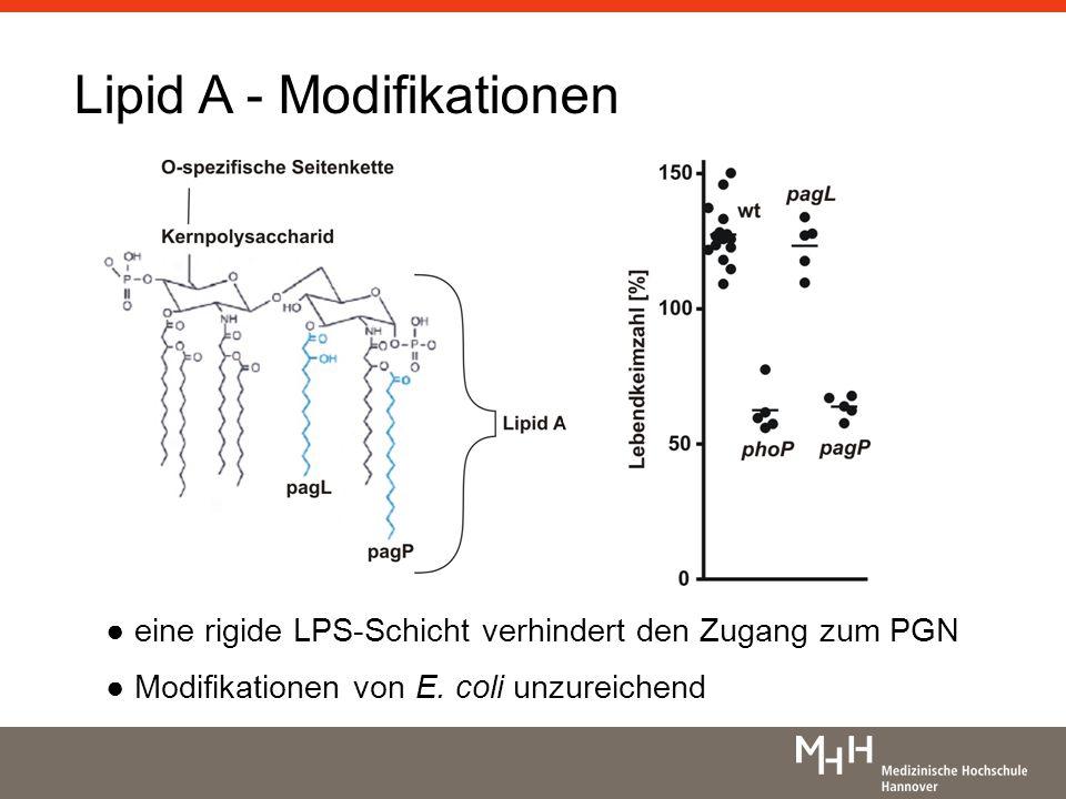 Lipid A - Modifikationen eine rigide LPS-Schicht verhindert den Zugang zum PGN Modifikationen von E. coli unzureichend