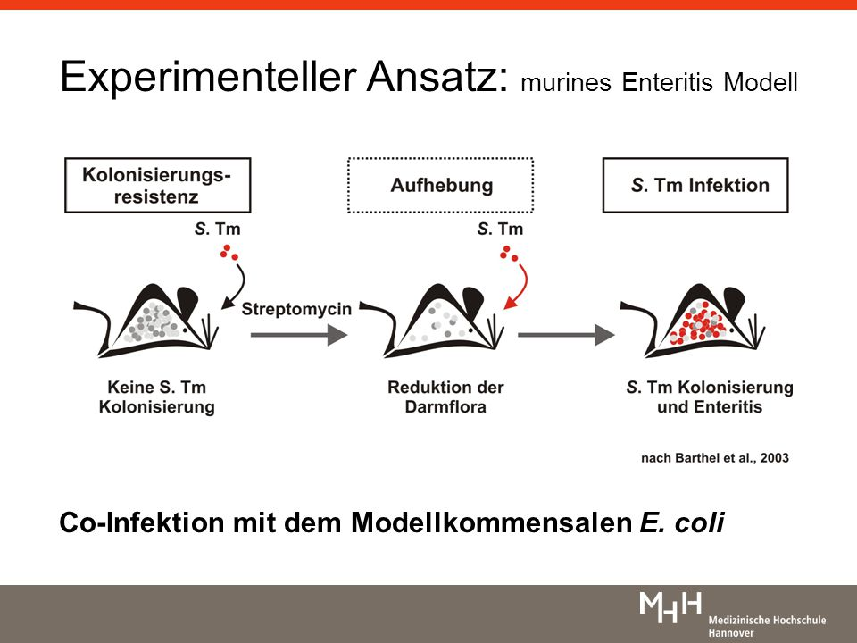 Experimenteller Ansatz: murines Enteritis Modell Co-Infektion mit dem Modellkommensalen E. coli