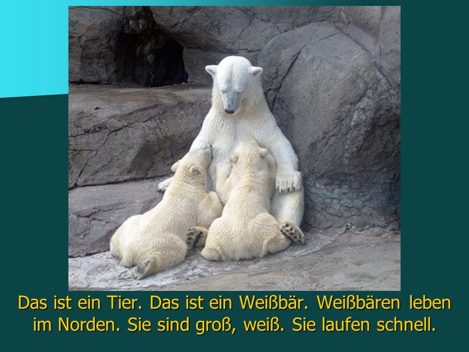 Das ist ein Tier. Das ist ein Weißbär. Weißbären leben im Norden. Sie sind groß, weiß. Sie laufen schnell.