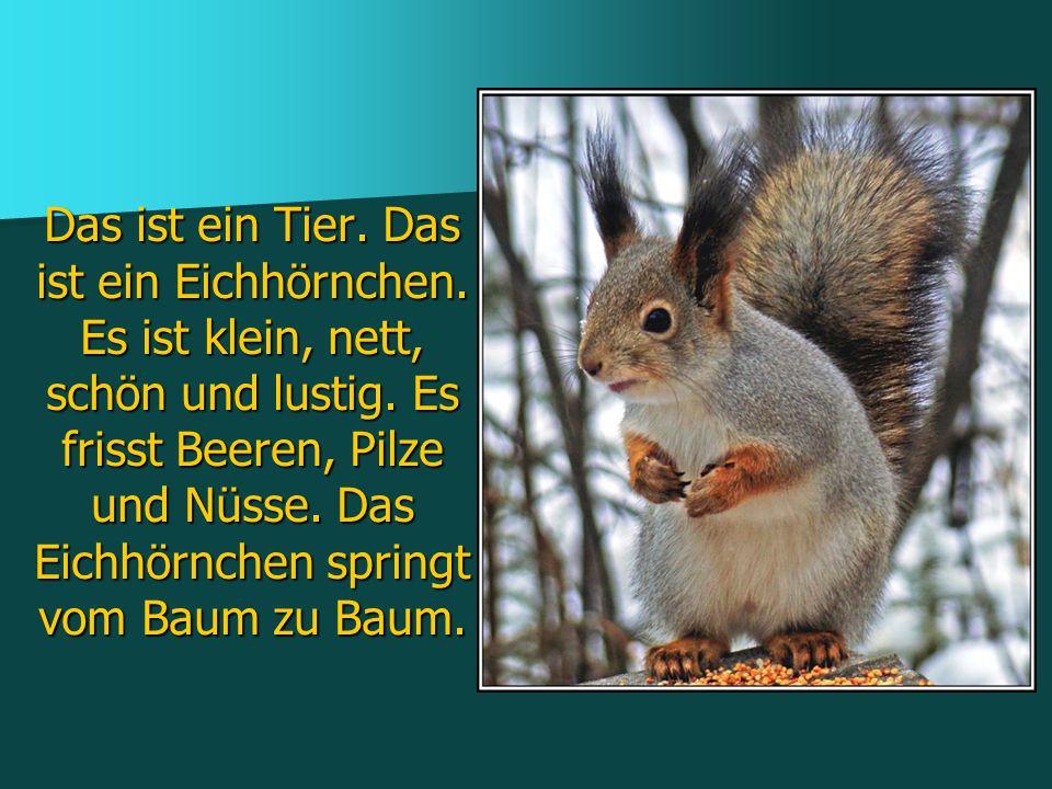 Das ist ein Tier. Das ist ein Eichhörnchen. Es ist klein, nett, schön und lustig. Es frisst Beeren, Pilze und Nüsse. Das Eichhörnchen springt vom Baum