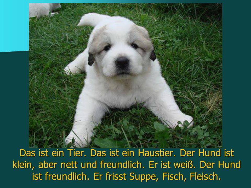 Das ist ein Tier. Das ist ein Haustier. Der Hund ist klein, aber nett und freundlich. Er ist weiß. Der Hund ist freundlich. Er frisst Suppe, Fisch, Fl