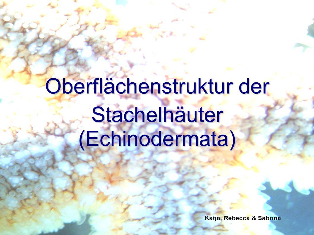 Katja, Rebecca & Sabrina 1Stachelhäuter (Echinodermata) 2Arten 3Oberflächenstruktur der Stachelhäuter 3.1Oberflächenstruktur allgemein 3.2Seesterne (Asteroidea) 3.3Schlangensterne (Ophiuroidea) 3.4Seeigel (Echinoidea) Gliederung