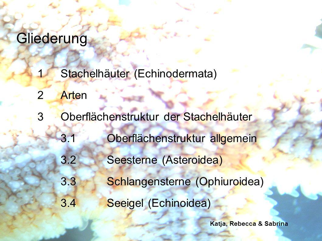 Katja, Rebecca & Sabrina 1Stachelhäuter (Echinodermata) wirbellose Tiere häufig kräftig gefärbt marin vorkommend langsame Fortbewegung Skelett aus Kalkplatten (Ossikeln) mit Stacheln kollagenhaltiges Bindegewebe