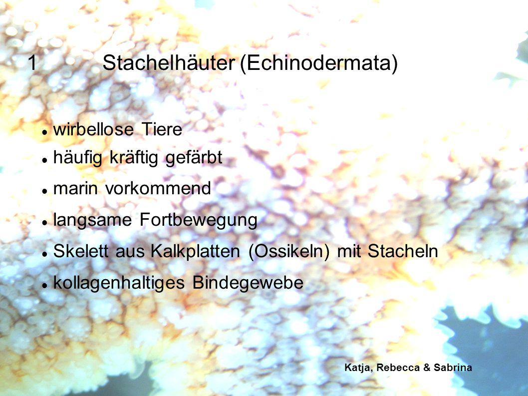 Katja, Rebecca & Sabrina 1.Stachelhäuter (Echinodermata) radiärsymmetrisch 5-strahlige Symmetrie Seesternen und Schlangensternen: meist 5 Arme ausgehend von einer zentralen Scheibe Körperabschnitte mit Saugknöpfchen: Radien Abschnitte zwischen Radien: Interradien
