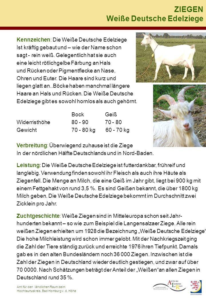 Kennzeichen: Die Weiße Deutsche Edelziege Ist kräftig gebaut und – wie der Name schon sagt - rein weiß. Gelegentlich hat sie auch eine leicht rötlichg